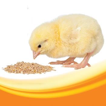 Pollo SOW Fase-I